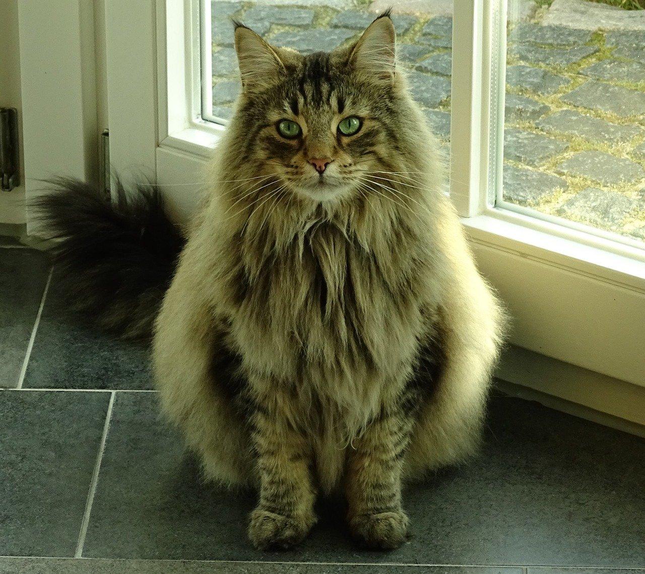 gatto foreste norvegesi bellissimo