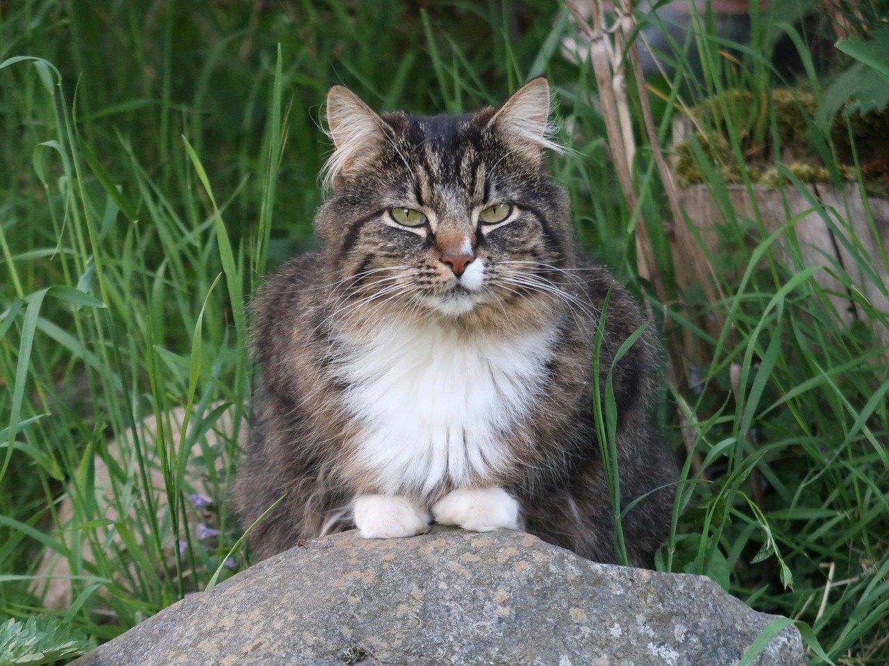 gatto norvegese occhi concentrati