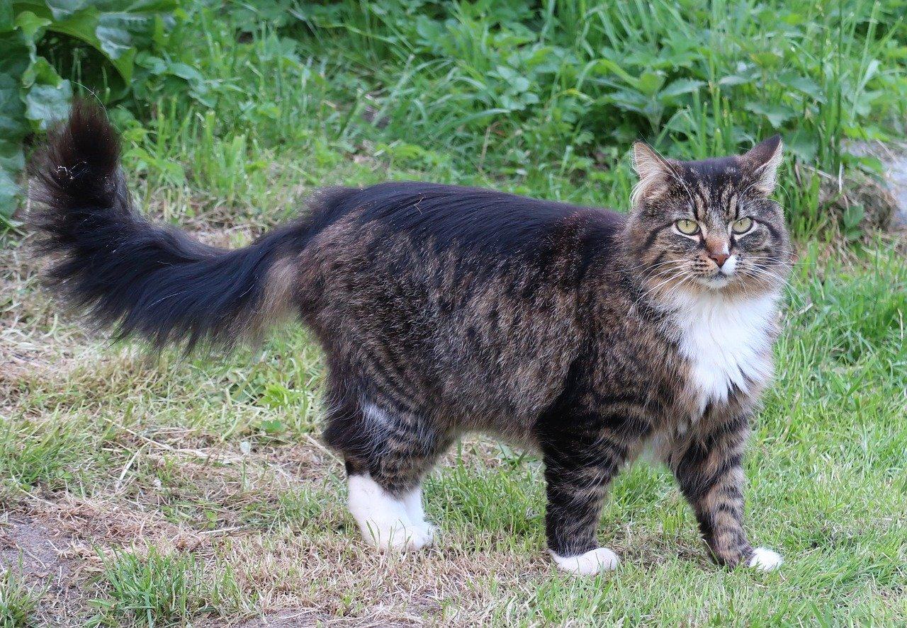 gatto norvegese esploratore