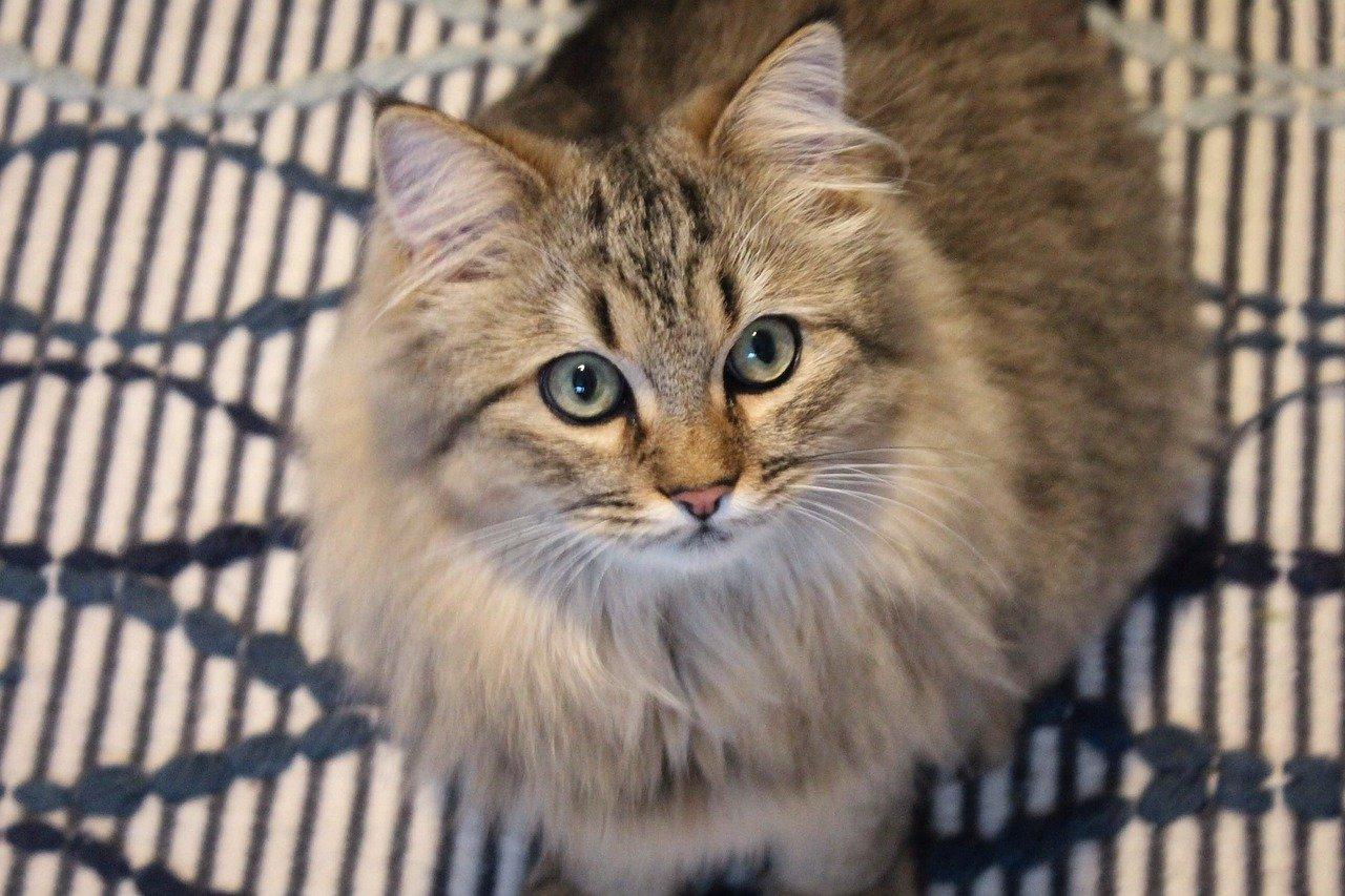 gatto forte norvegesi occhi grandi