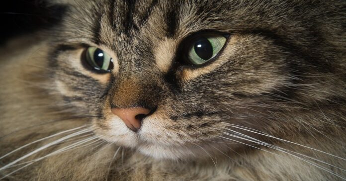 gatto foreste norvegese occhi belli