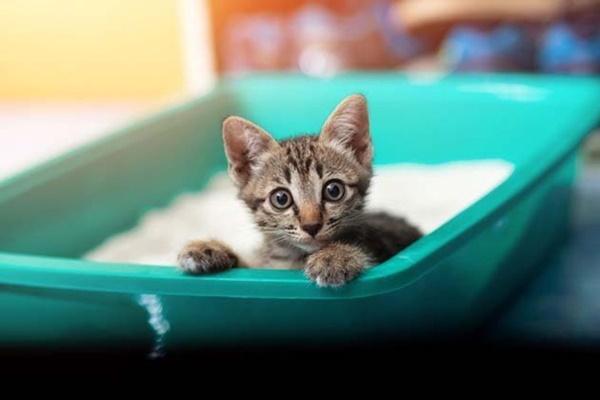 gattino si nasconde nella lettiera