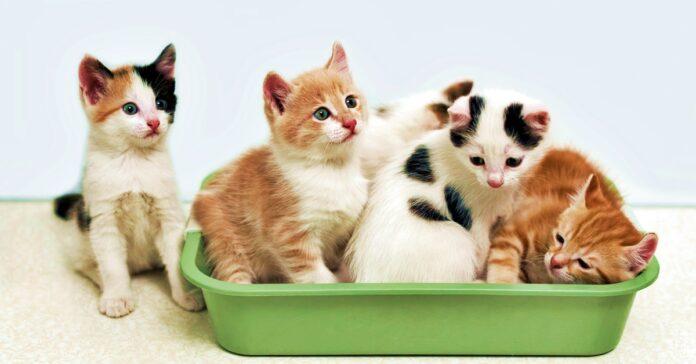 gattini nella lettiera