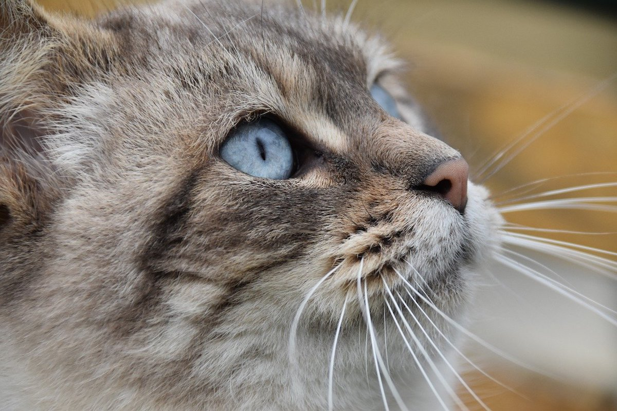 gatto sguardo colore azzurro