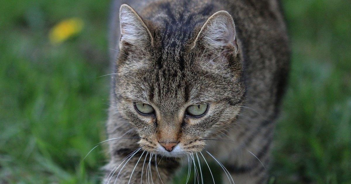gatto europeo sguardo profondo