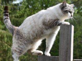 felino europeo cerca qualcosa