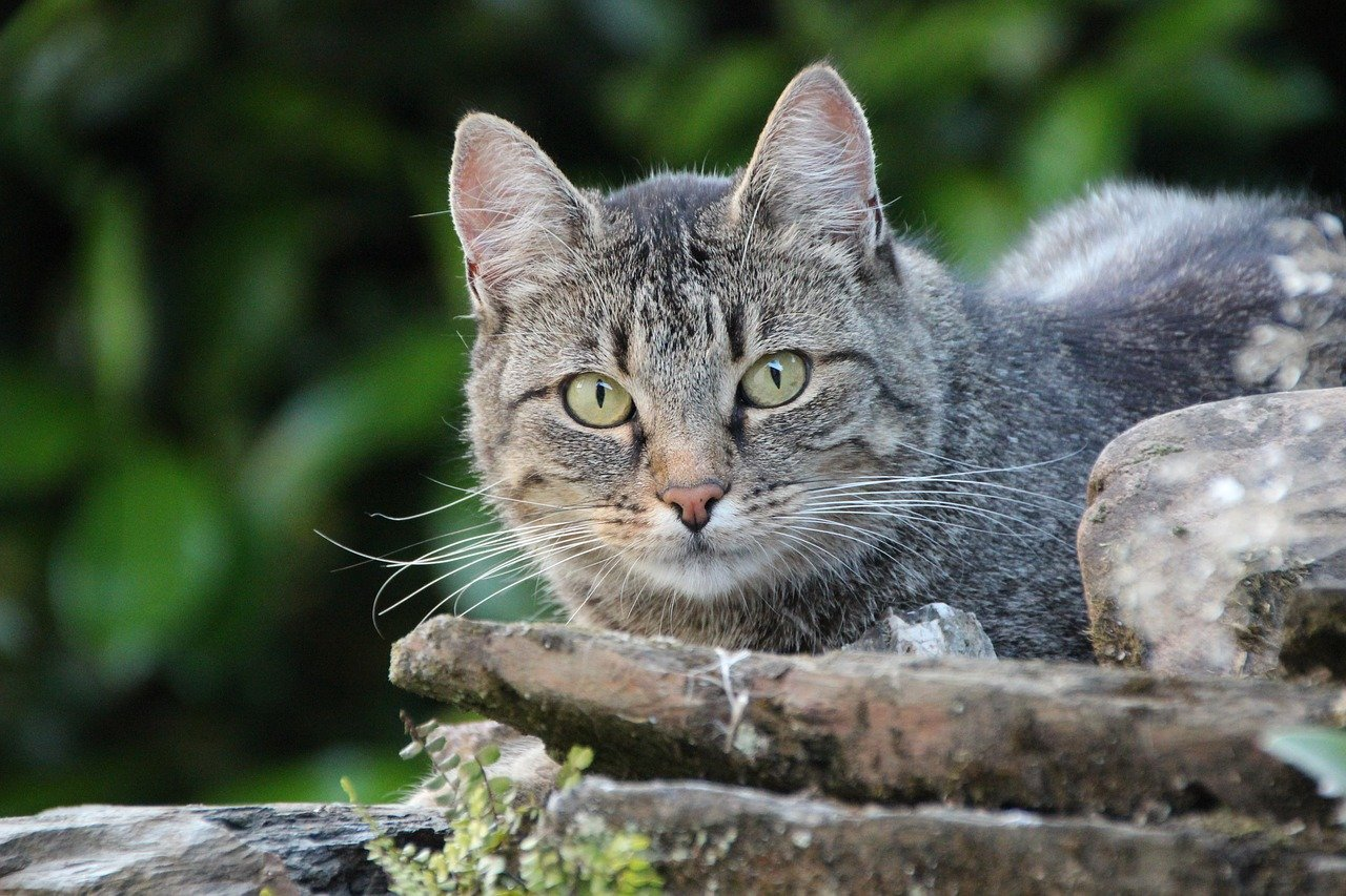 gatto europeo sguardo verde
