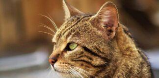 felino europeo tipologia tigrato