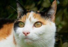 gatto dai 3 colori