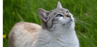 gatto sguardo intenso