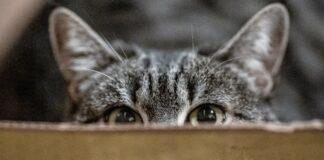 gatto che si nasconde dietro uno scatolo