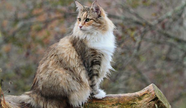 gatto norvegesi attento
