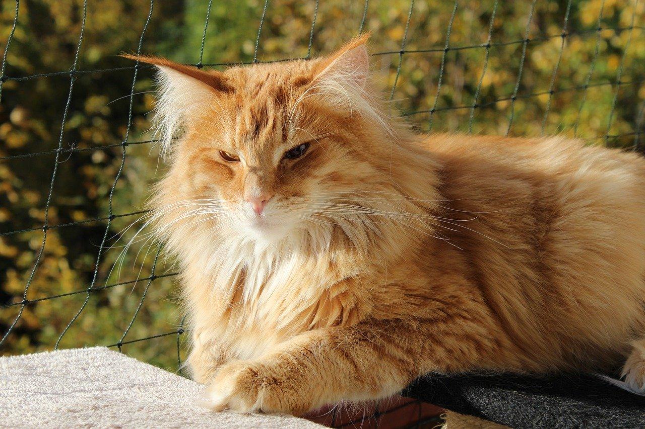 gatto pelo lucente
