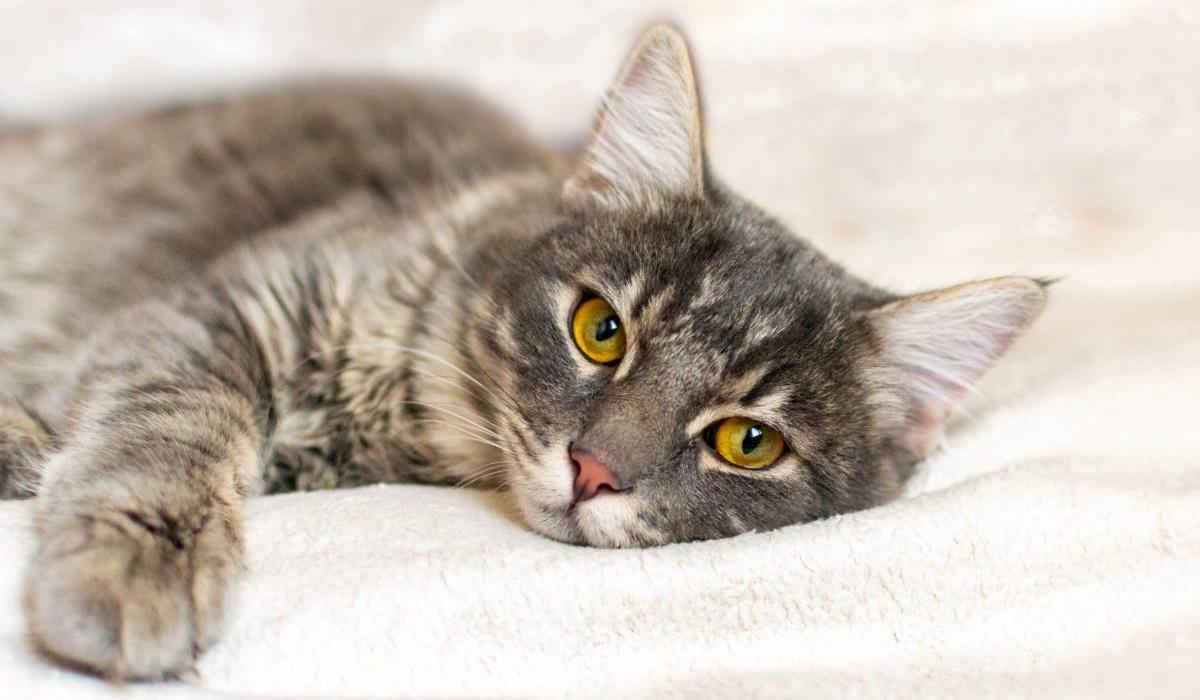 gatto che riposa sul cuscino