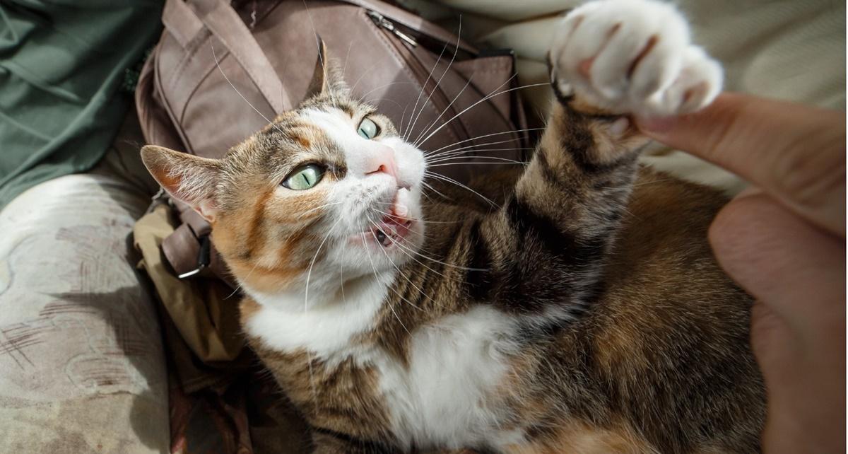 gatto che gioca con il padrone