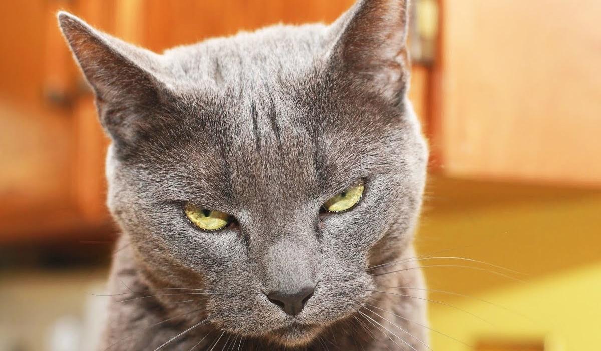 gatto con il pelo grigio e gli occhi gialli