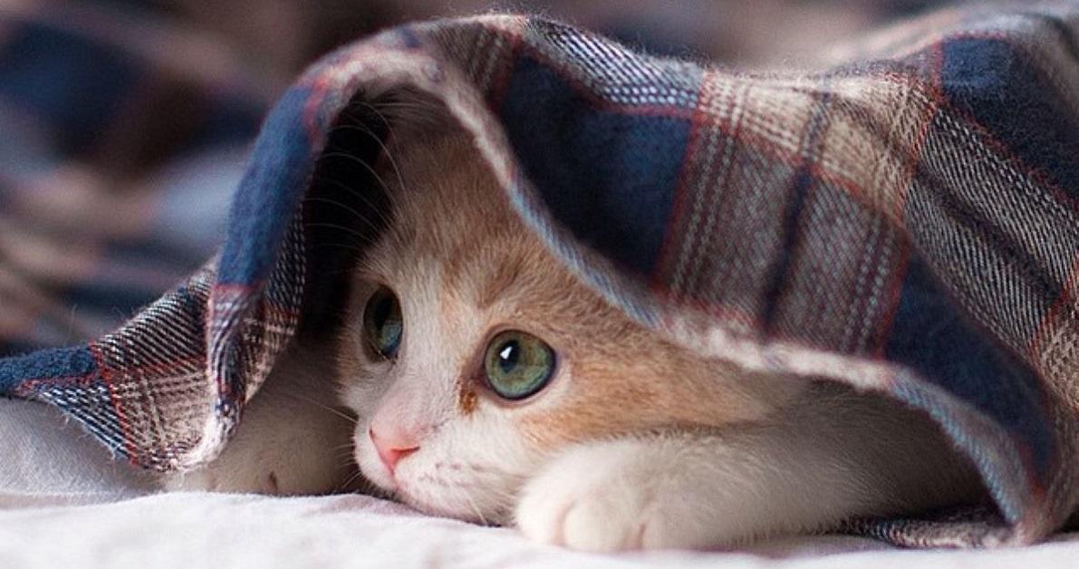 gatto sotto coperta di lana