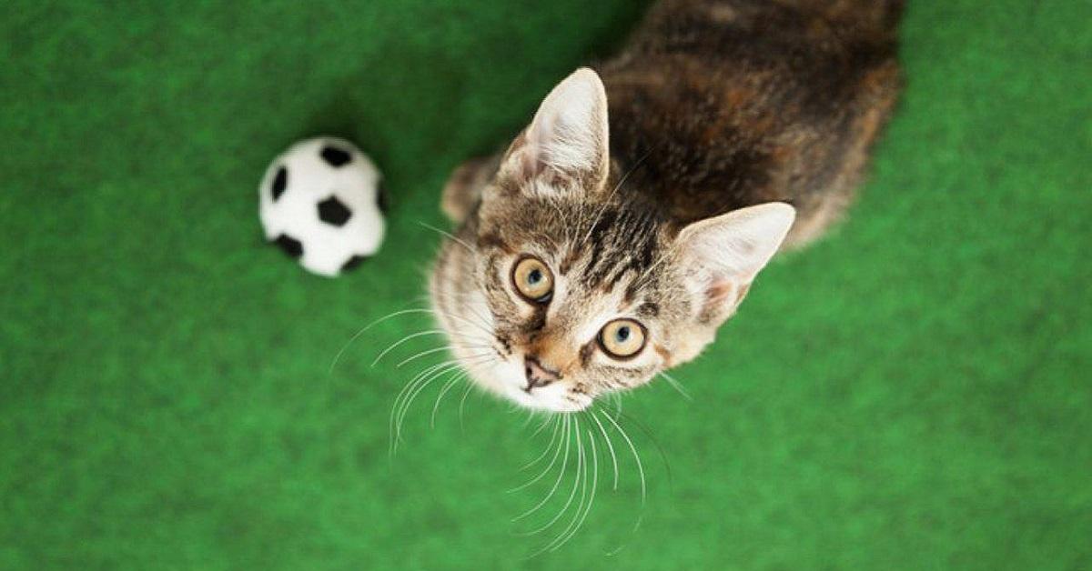 gatto con palla da calcio