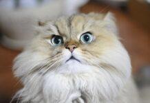 gatto con la faccia arrabbiata