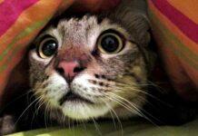gatto si nasconde sotto le coperte