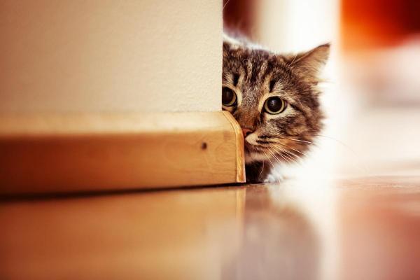 gatto nascosto dietro un muro