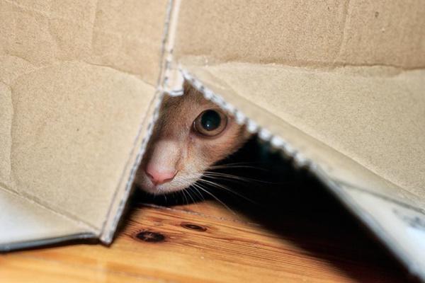 gatto nascosto dentro una scatola