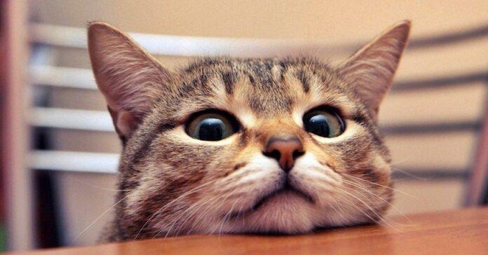 espressione buffa del gatto