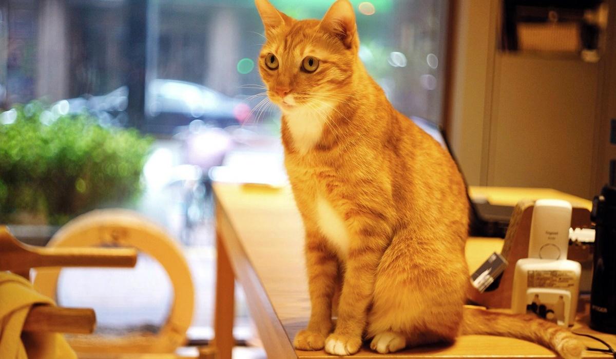 gatto arancione tigrato sulla scrivania