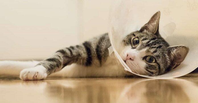 gatto dopo un intervento