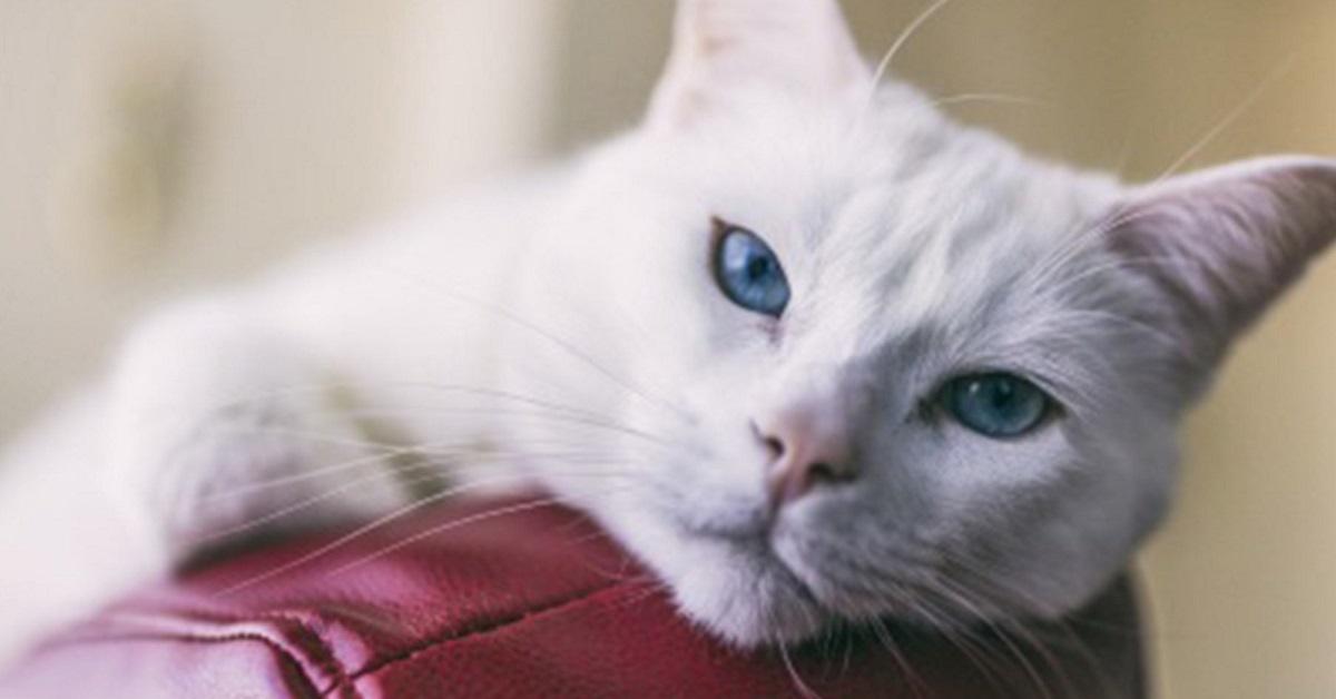 gatto bianco su bracciolo del divano