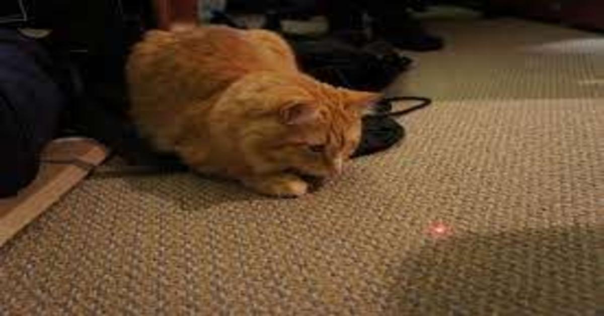 gatto gioca con laser luce rossa