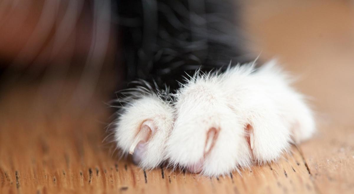 unghie del gatto