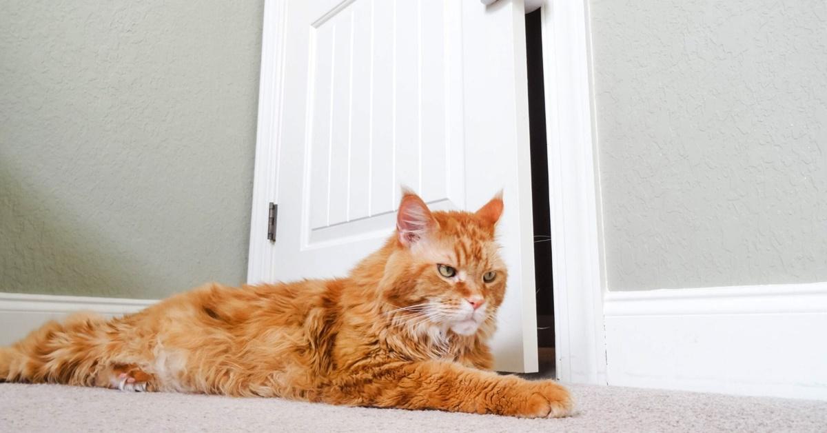 gatto arrabbiato davanti alla porta
