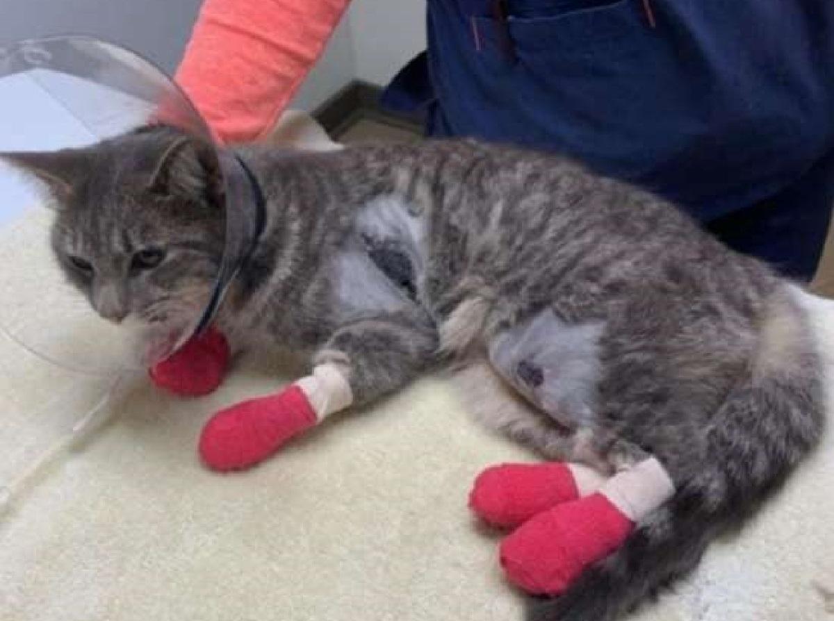 zampe fasciate gatto
