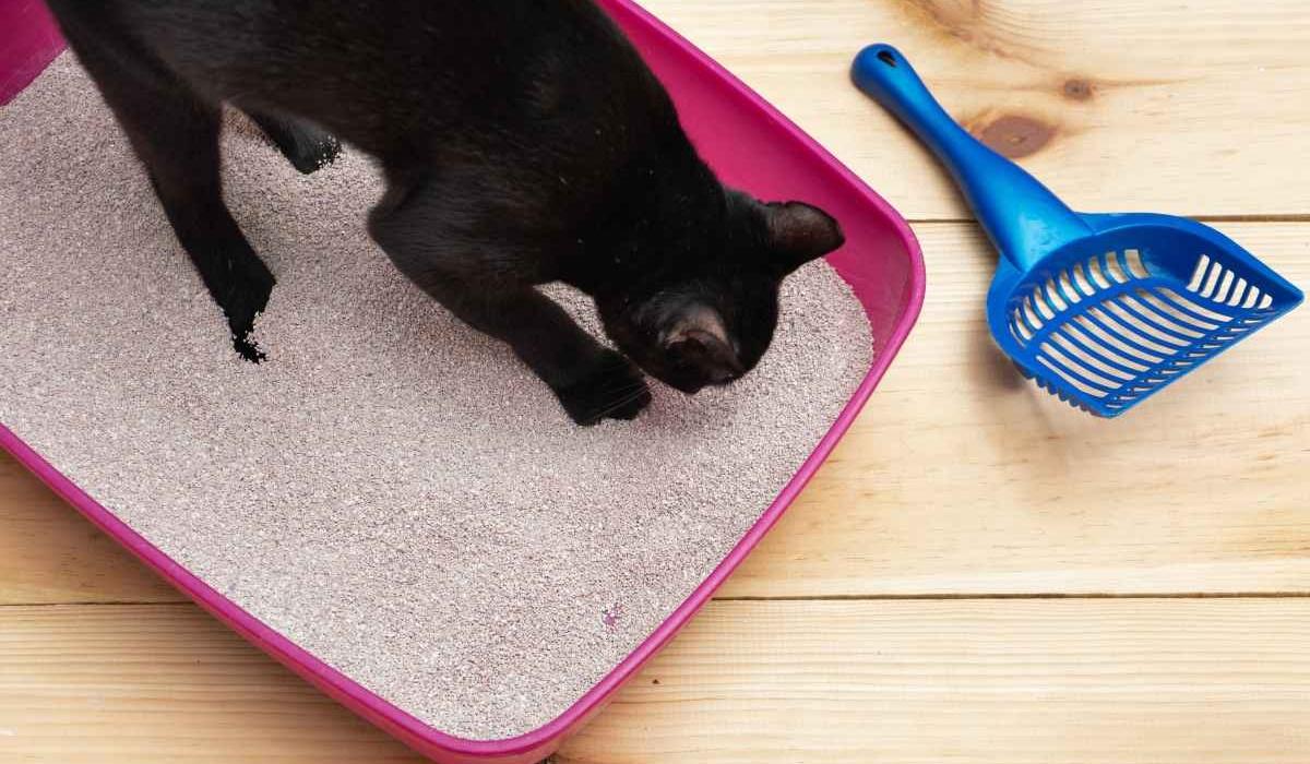 gatto nero con la lettiera rosa
