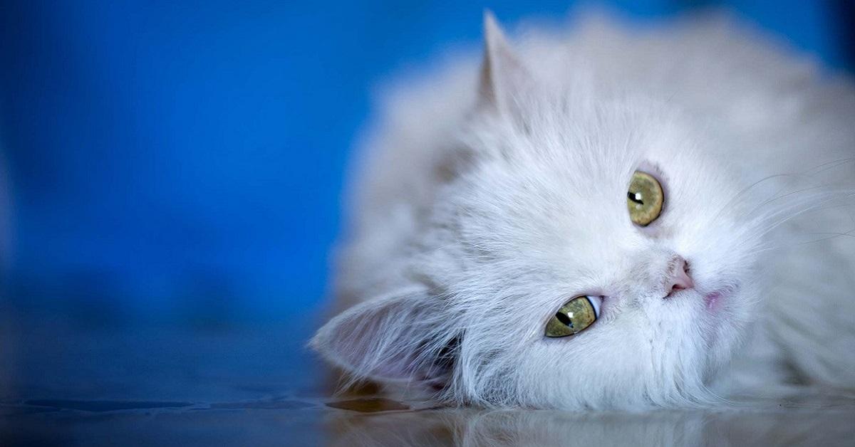gatto bianco a pelo lungo