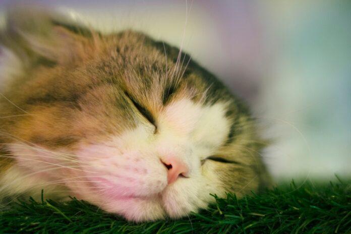 primo piano di gatto che dorme