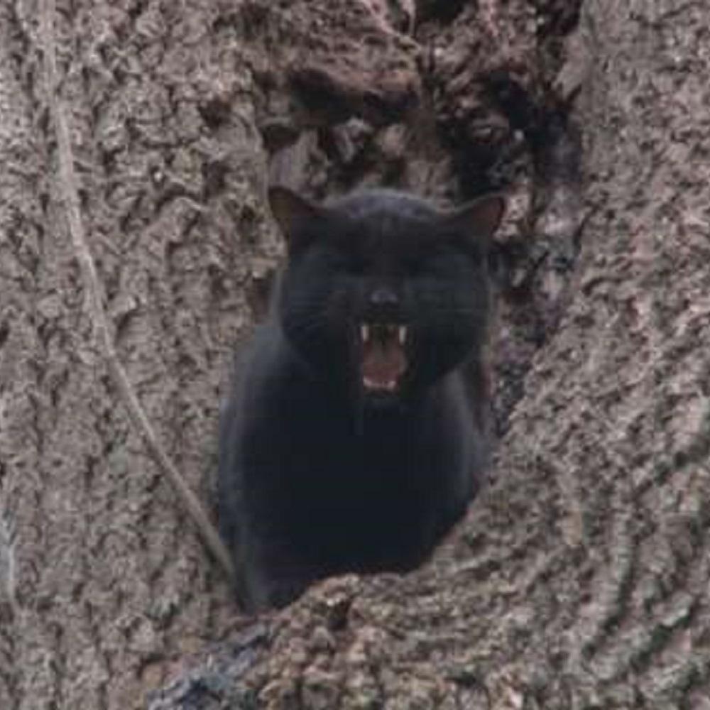 phantom gatto bloccato rami albero