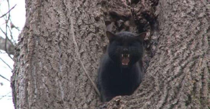phantom gatto difficile rapporto con alberi