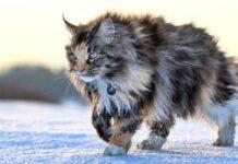 gatto delle foreste norvegesi che cammina sulla neve