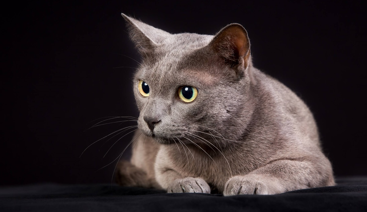 gatto di razza korat