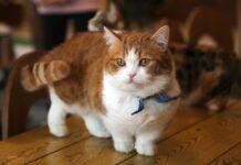 gatto di razza munchkin