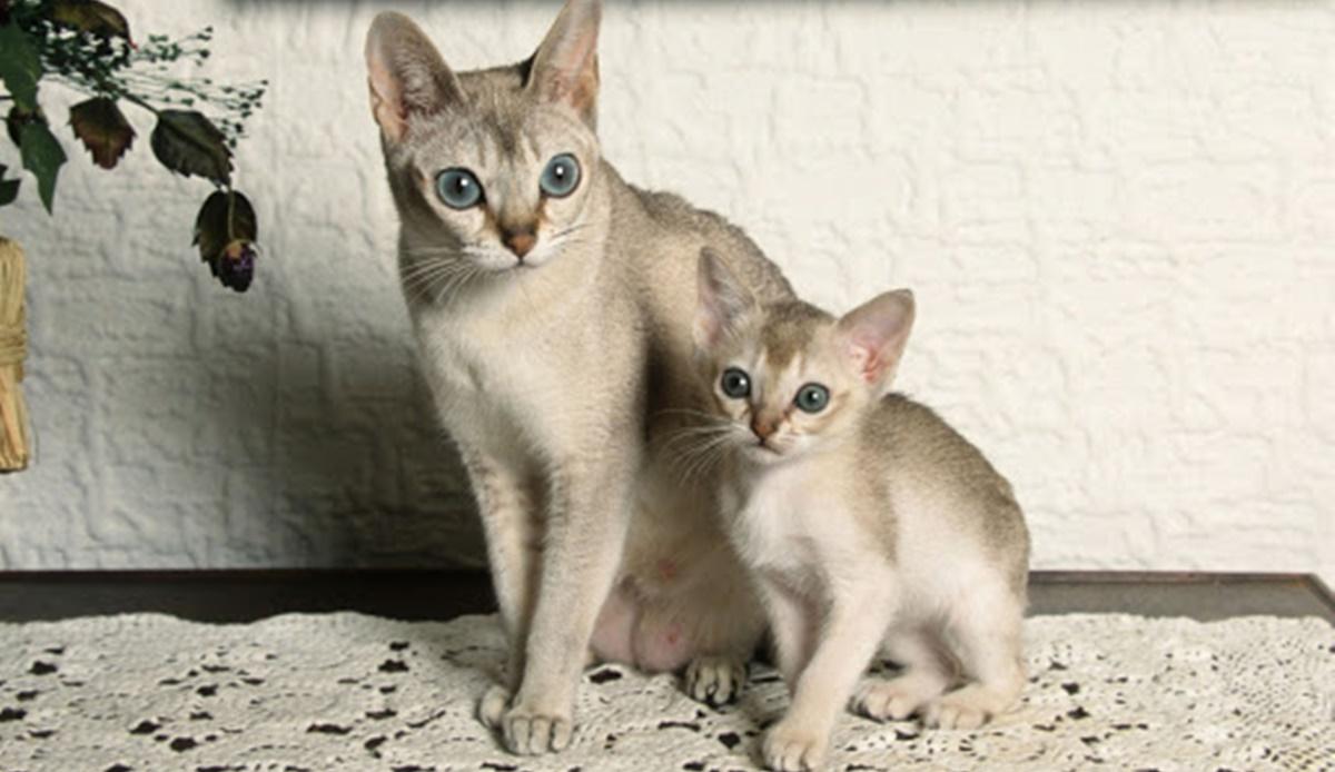 mamma e gattino di razza singapura