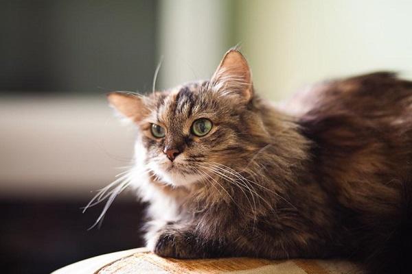 gatto anziano su bracciolo