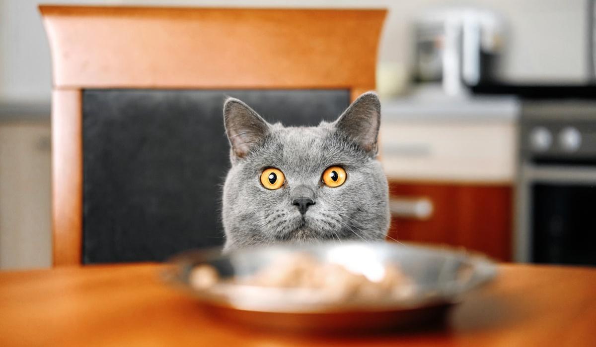 gatto che vuole mangiare
