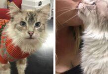 sergio gatto siamese 8 anni cerca casa