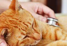 visita veterinaria a gatto rosso