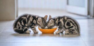 gattini mangiano insieme