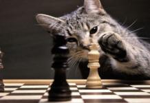 gatto grigio con scacchi