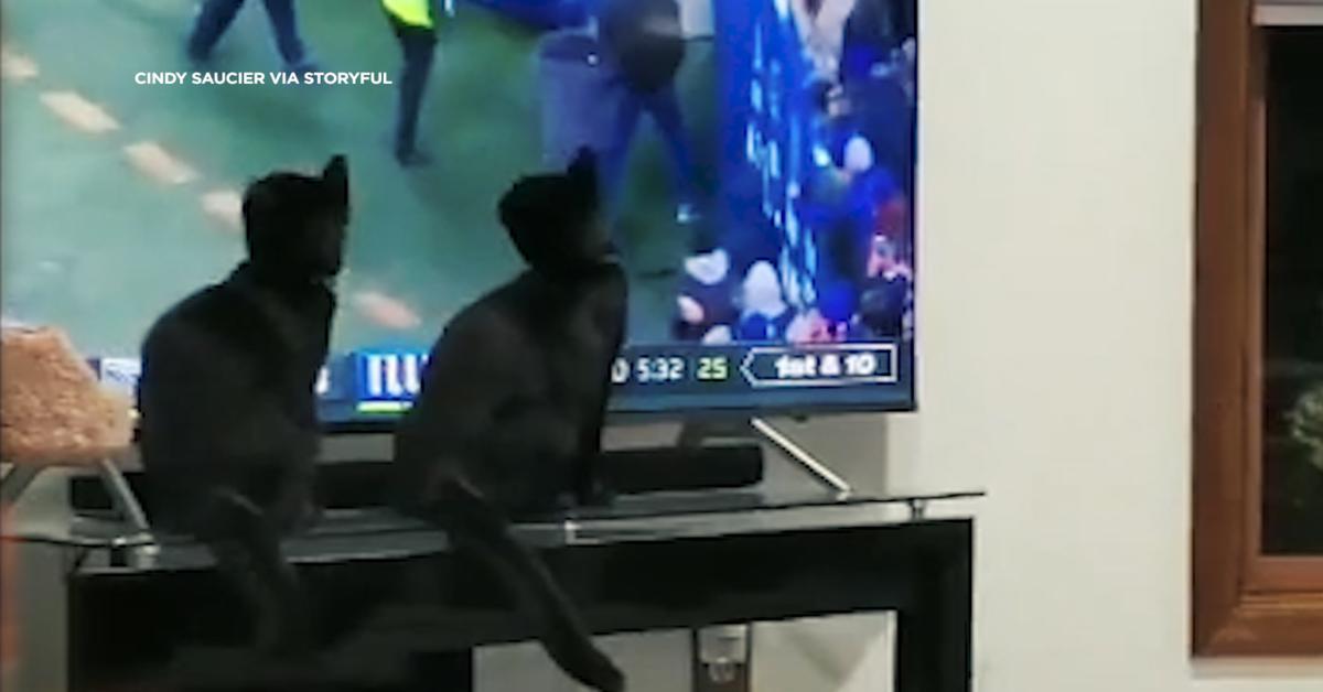gatti guardano partita alla tv